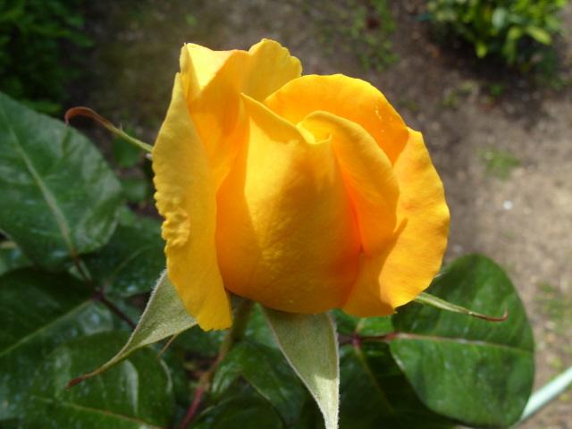 Petit album de roses S1050510