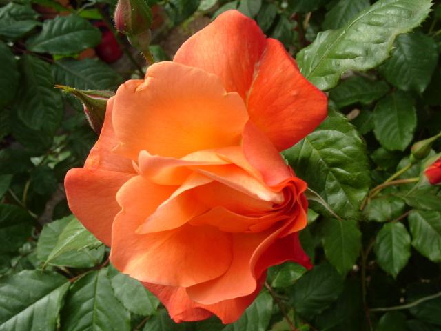 Petit album de roses S1050513