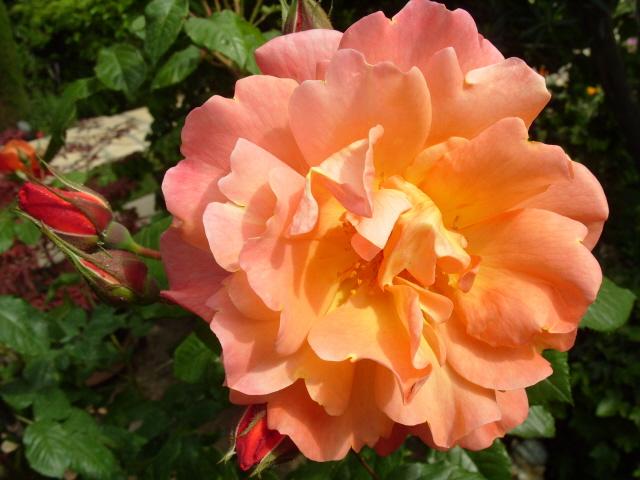 Petit album de roses S1050514