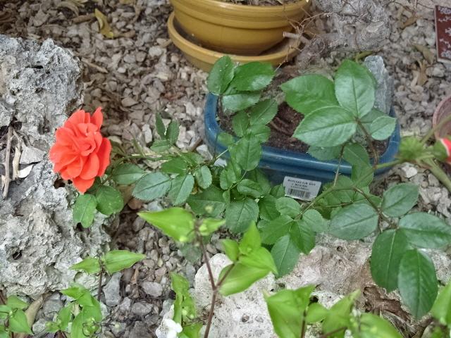 Petit album de roses S1050515