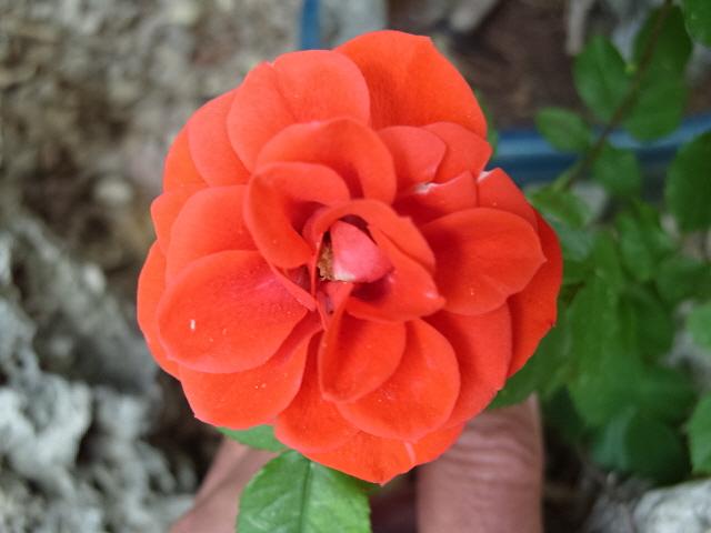 Petit album de roses S1050516