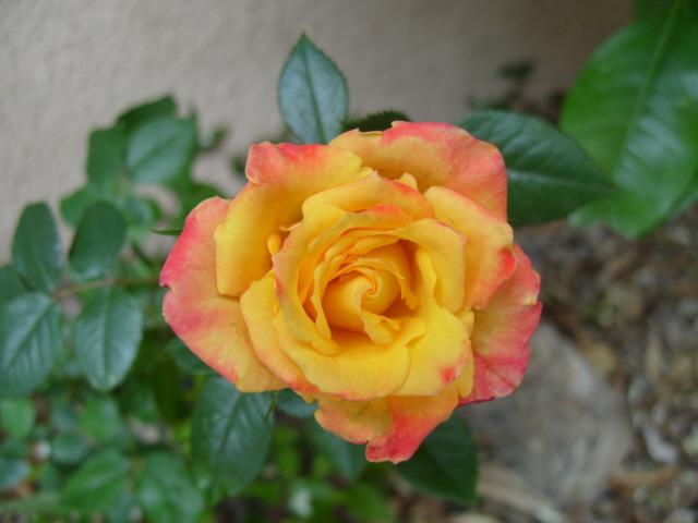 Petit album de roses S1050517