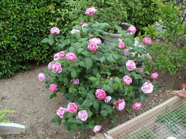 Petit album de roses S1050518