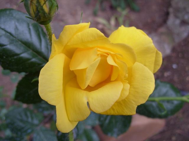 Petit album de roses S1050519
