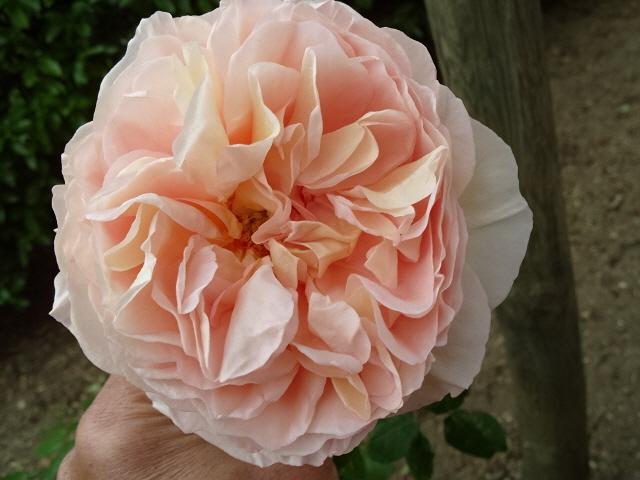 Petit album de roses S1050521