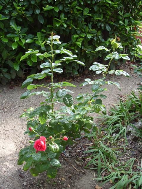 Petit album de roses S1050539