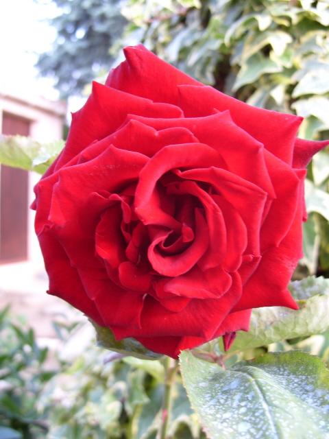 Petit album de roses S1050543