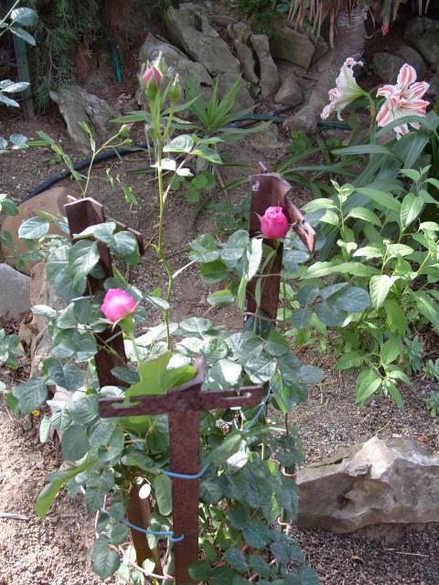 Petit album de roses S1050544