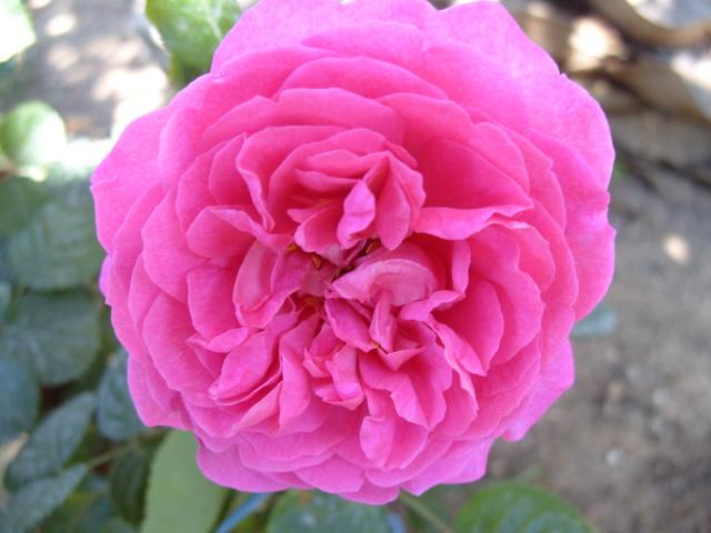 Petit album de roses S1050545