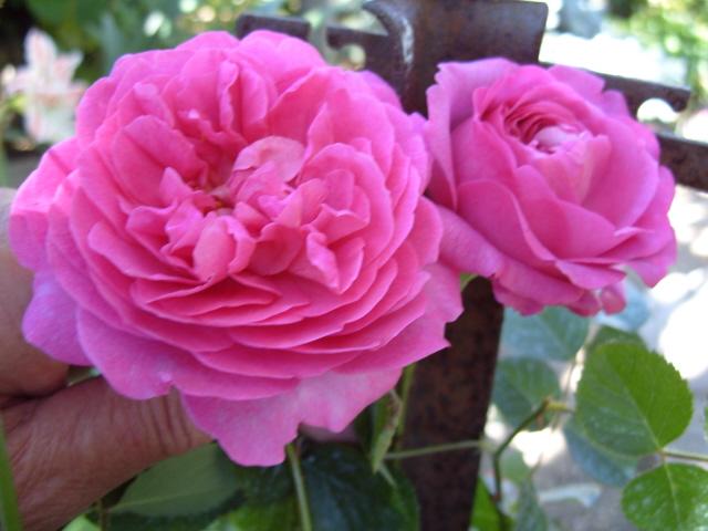 Petit album de roses S1050546