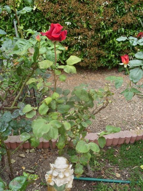 Petit album de roses S1050612