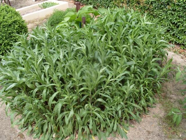 Leucanthemum vulgare 'Reine de Mai' - Marguerite S1050618
