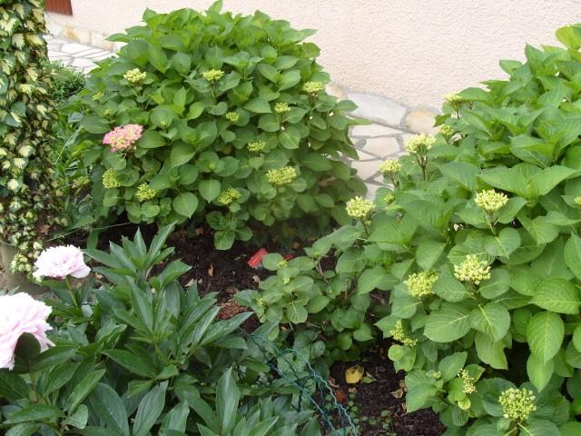 Hortensia des jardins S1050624