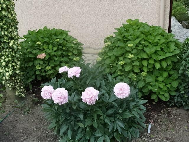 Hortensia des jardins S1050625