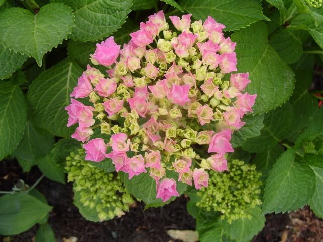 Hortensia des jardins S1050626