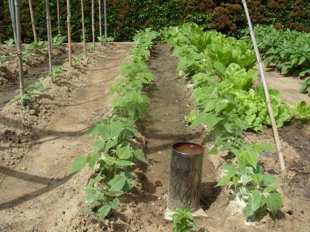 nouvelles plantations de légumes S1050629