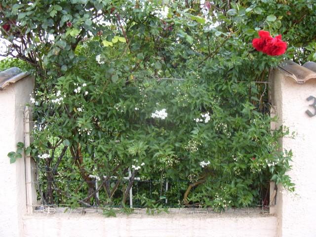 Solanum jasminoïde S1050636