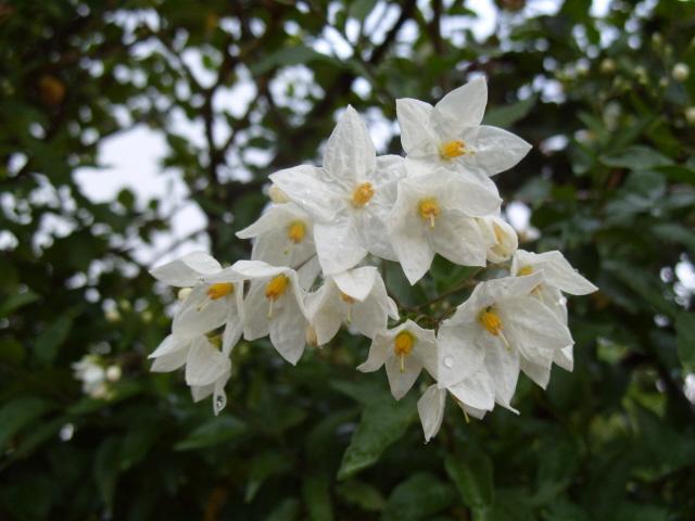 Solanum jasminoïde S1050637