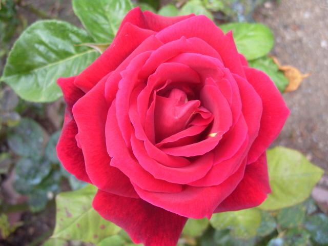 Petit album de roses - Page 2 S1050650