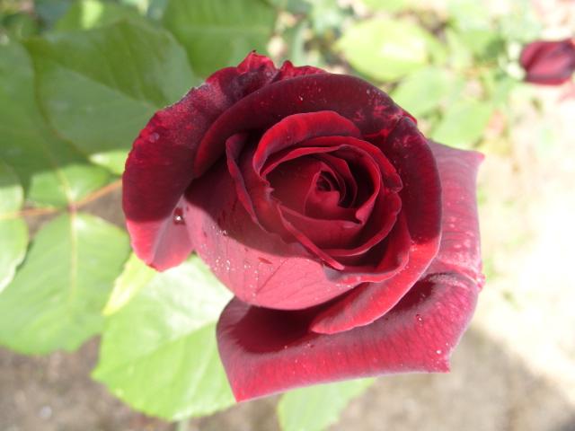 Petit album de roses - Page 2 S1050651