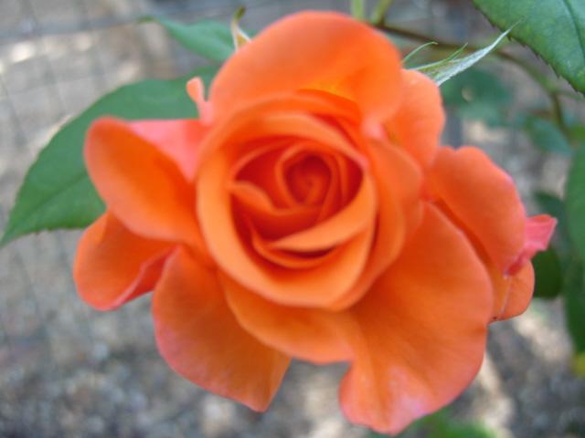 Petit album de roses - Page 2 S1050654