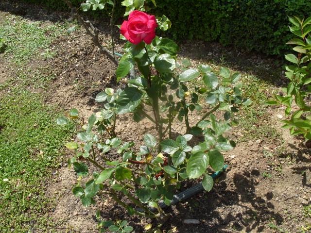 Petit album de roses - Page 2 S1050655