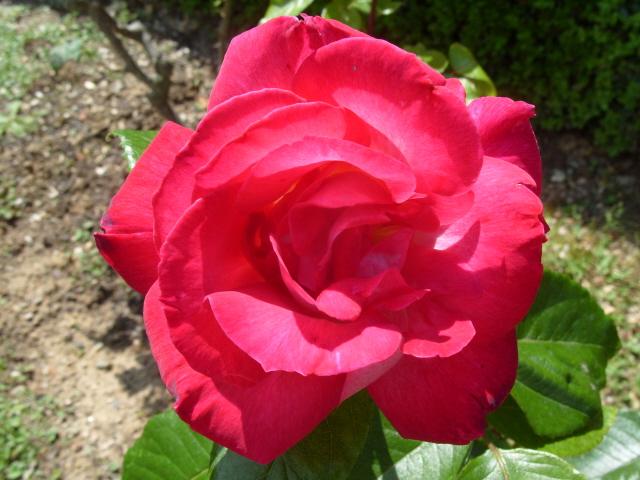 Petit album de roses - Page 2 S1050656