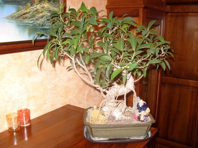 nos bonsaïs et autres ficus S1050711