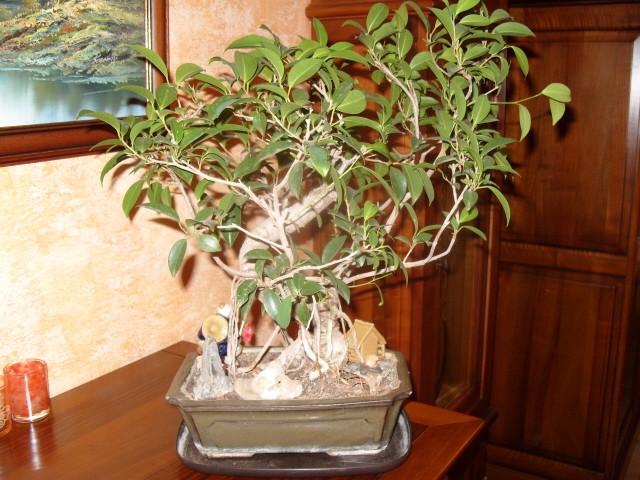 nos bonsaïs et autres ficus S1050712