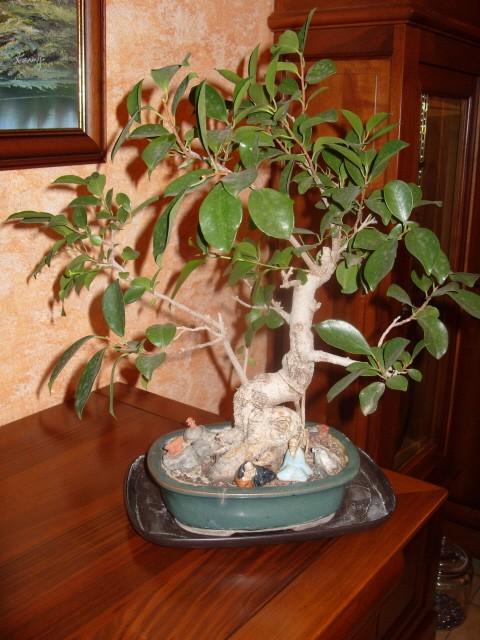nos bonsaïs et autres ficus S1050713