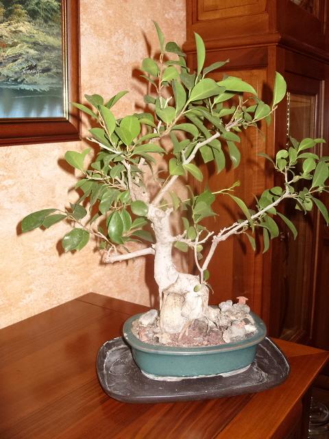 nos bonsaïs et autres ficus S1050714