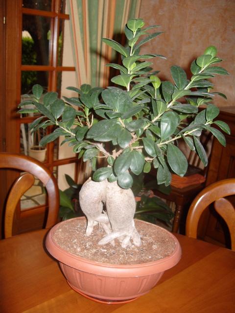 nos bonsaïs et autres ficus S1050715