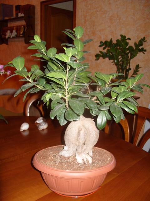 nos bonsaïs et autres ficus S1050716