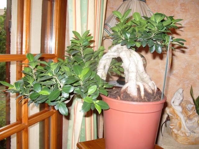 nos bonsaïs et autres ficus S1050717
