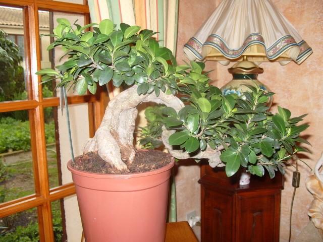 nos bonsaïs et autres ficus S1050718