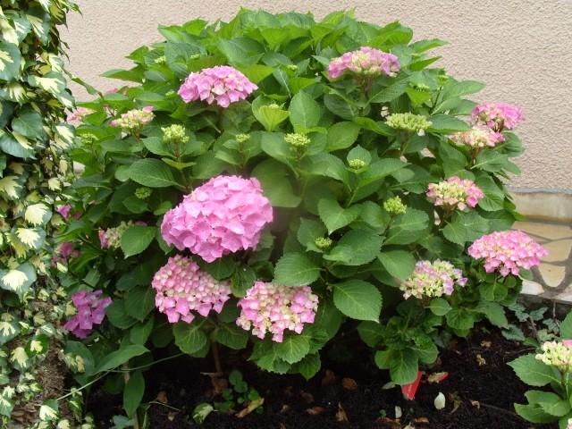 Hortensia des jardins S1050719