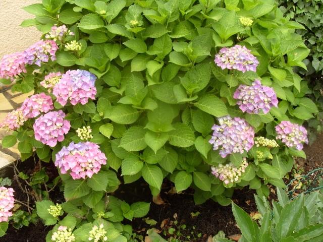 Hortensia des jardins S1050720