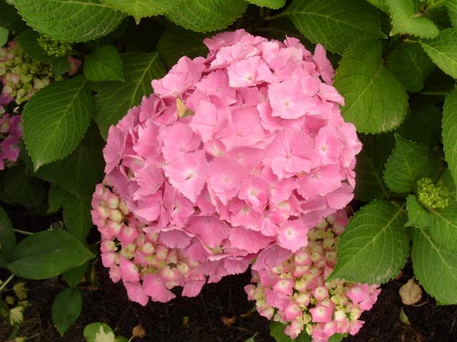 Hortensia des jardins S1050721