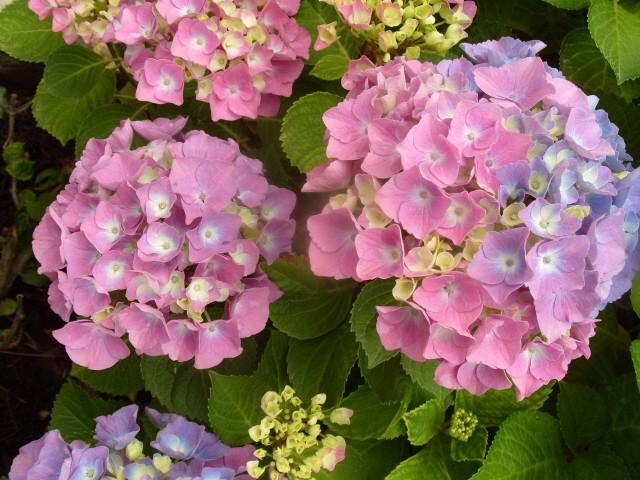 Hortensia des jardins S1050722