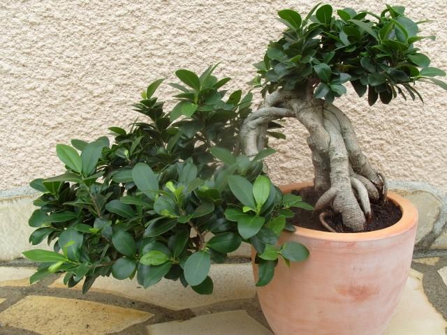 nos bonsaïs et autres ficus S1050723