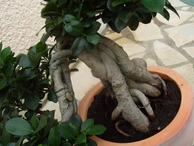 nos bonsaïs et autres ficus S1050725