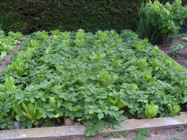 nouvelles plantations de légumes S1050727