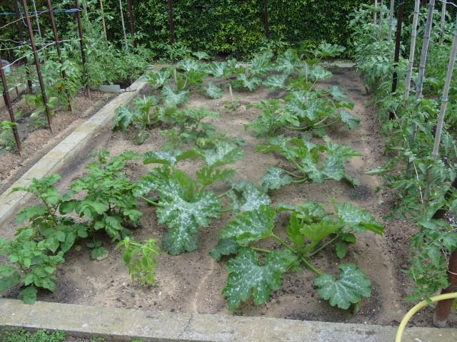 nouvelles plantations de légumes S1050729