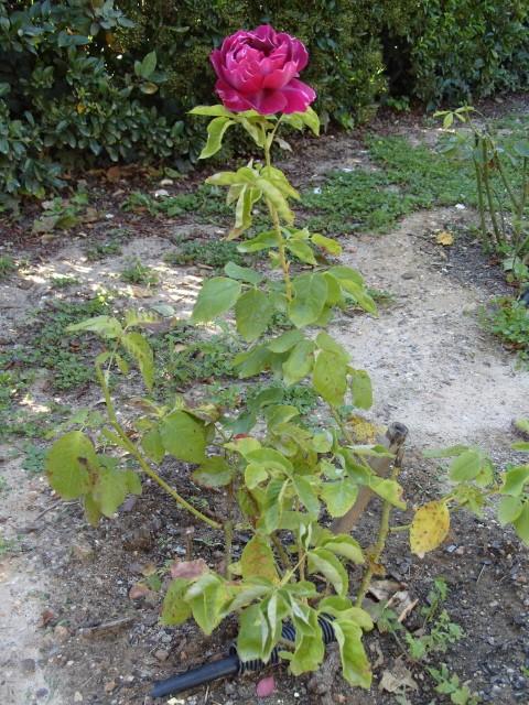Petit album de roses - Page 2 S1050753