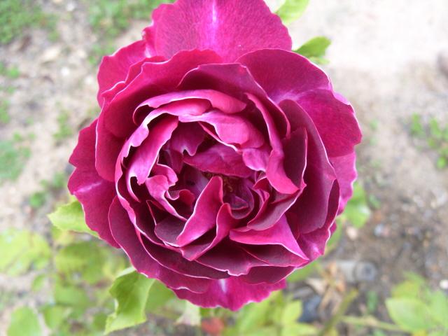 Petit album de roses - Page 2 S1050754