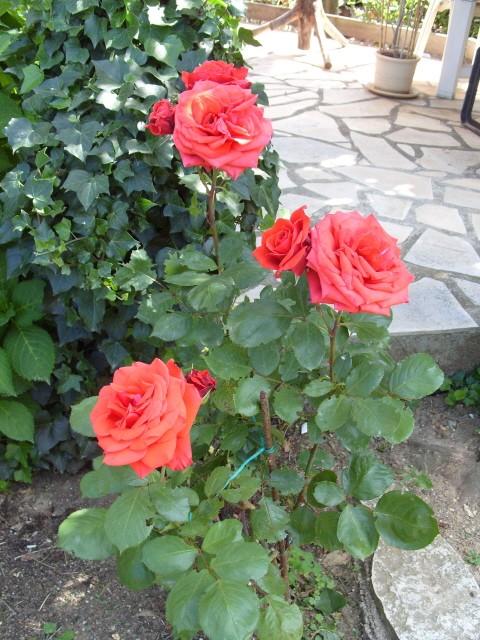 Petit album de roses - Page 2 S1050755