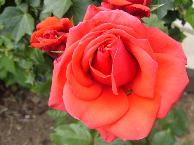 Petit album de roses - Page 2 S1050756