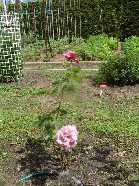 Petit album de roses - Page 2 S1050757