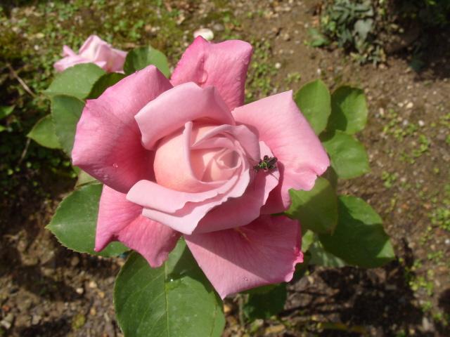 Petit album de roses - Page 2 S1050760
