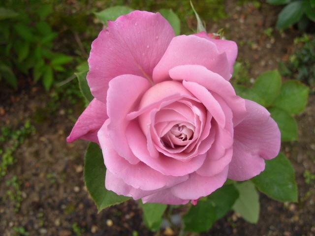 Petit album de roses - Page 2 S1050761